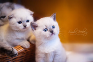 Scottish Fold & Straight blue point kittens SimbaIceberg Hera and SimbaIceberg Harry (1 month 1 week old - 31.03.2017) (1)