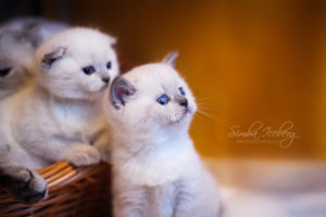 Scottish Fold & Straight blue point kittens SimbaIceberg Hera and SimbaIceberg Harry (1 month 1 week old - 31.03.2017) (2)