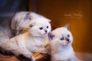 Scottish Fold & Straight blue point kittens SimbaIceberg Hera and SimbaIceberg Harry (1 month 1 week old - 31.03.2017) (3)