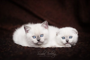 Scottish Fold & Straight blue point kittens SimbaIceberg Hera and SimbaIceberg Harry (2 months old - 22.04.2017) (1)