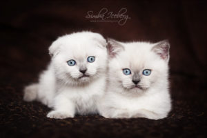Scottish Fold & Straight blue point kittens SimbaIceberg Hera and SimbaIceberg Harry (2 months old - 22.04.2017) (3)