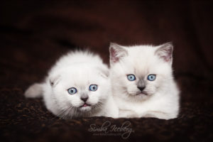 Scottish Fold & Straight blue point kittens SimbaIceberg Hera and SimbaIceberg Harry (2 months old - 22.04.2017) (4)