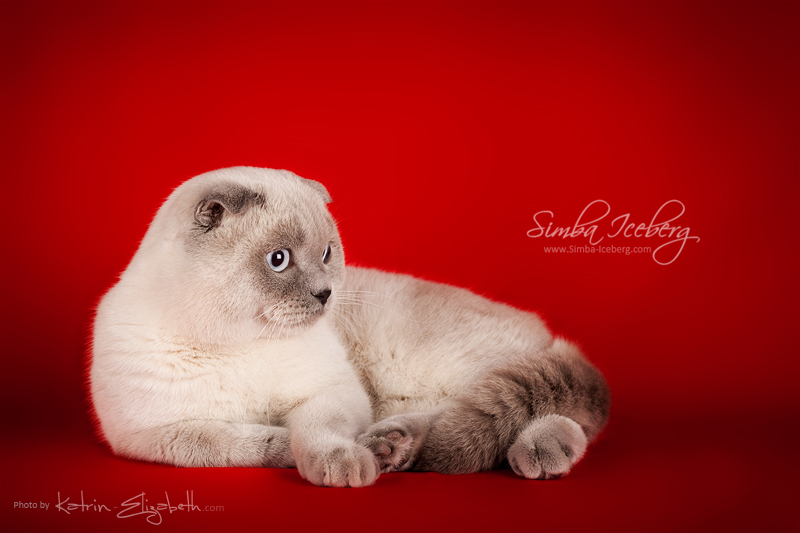 Scottish Fold blue point cat Camelot of Simba Iceberg (11 months old - 08.12.2013) (1)