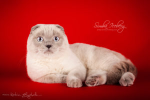 Scottish Fold blue point cat Camelot of Simba Iceberg (11 months old - 08.12.2013) (2)