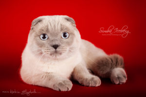 Scottish Fold blue point cat Camelot of Simba Iceberg (11 months old - 08.12.2013) (3)