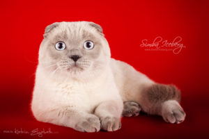 Scottish Fold blue point cat Camelot of Simba Iceberg (11 months old - 08.12.2013) (4)