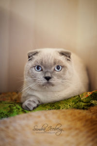 Scottish Fold blue point cat Camelot of Simba Iceberg (8 months 3 weeks 5 days old - 02.10.2013) (1)
