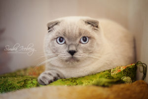 Scottish Fold blue point cat Camelot of Simba Iceberg (8 months 3 weeks 5 days old - 02.10.2013) (2)