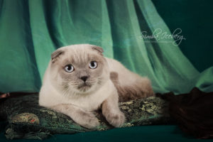 photo Scottish Fold blue point cat Camelot of Simba Iceberg (8 months 3 weeks old - 27.09.2013)