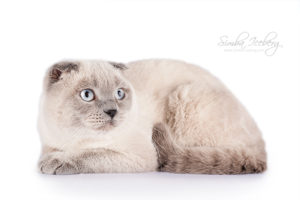 Scottish Fold blue point cat Camelot of Simba Iceberg (9 months 1 weeks old - 14.10.2013) (2)