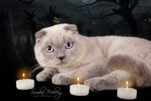 Scottish Fold blue point cat Camelot of Simba Iceberg (9 months 3 weeks old - 31.10.2013) (2)