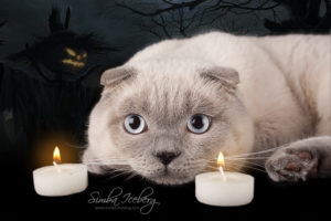 Scottish Fold blue point cat Camelot of Simba Iceberg (9 months 3 weeks old - 31.10.2013) (3)
