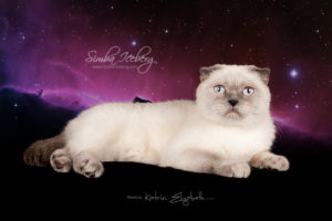 Scottish Fold blue point cat Cruel Morgana of Simba Iceberg (1 year 5 months old - 06.06.2014)