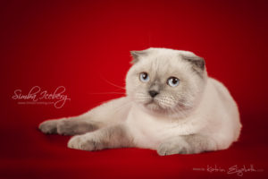 Scottish Fold blue point cat Cruel Morgana of Simba Iceberg (1 year 8 months 3 weeks old - 26.09.2014) (2)