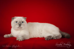 Scottish Fold blue point cat Cruel Morgana of Simba Iceberg (1 year 8 months 3 weeks old - 26.09.2014) (3)