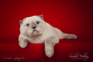 Scottish Fold blue point cat Cruel Morgana of Simba Iceberg (1 year 8 months 3 weeks old - 26.09.2014) (4)