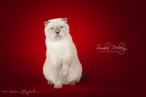 Scottish Fold blue point cat Cruel Morgana of Simba Iceberg (1 year 8 months 3 weeks old - 26.09.2014) (5)