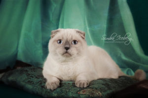 Scottish Fold blue point cat Cruel Morgana of Simba Iceberg (8 months 3 weeks old - 27.09.2013) (1)