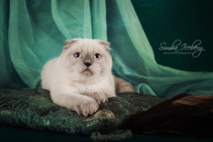 Scottish Fold blue point cat Cruel Morgana of Simba Iceberg (8 months 3 weeks old - 27.09.2013) (2)