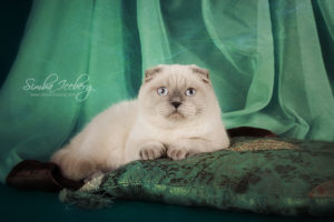 Scottish Fold blue point cat Cruel Morgana of Simba Iceberg (8 months 3 weeks old - 27.09.2013) (4)