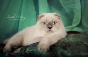 Scottish Fold blue point cat Cruel Morgana of Simba Iceberg (8 months 3 weeks old - 27.09.2013) (5)