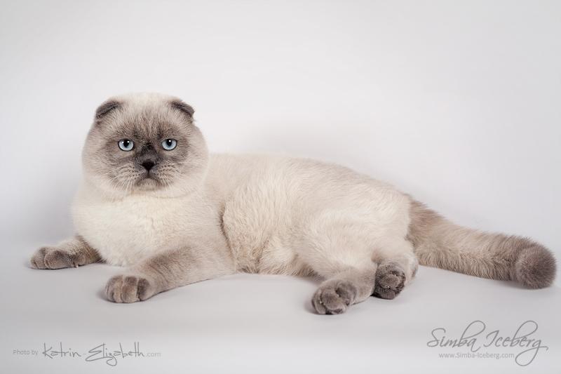 Scottish Fold blue point cat SimbaIceberg Grant (11 months 1 week old - 15.03.2017) (1)