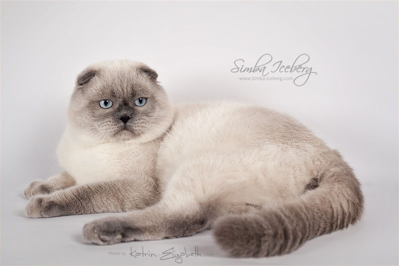 Scottish Fold blue point cat SimbaIceberg Grant (11 months 1 week old - 15.03.2017) (2)