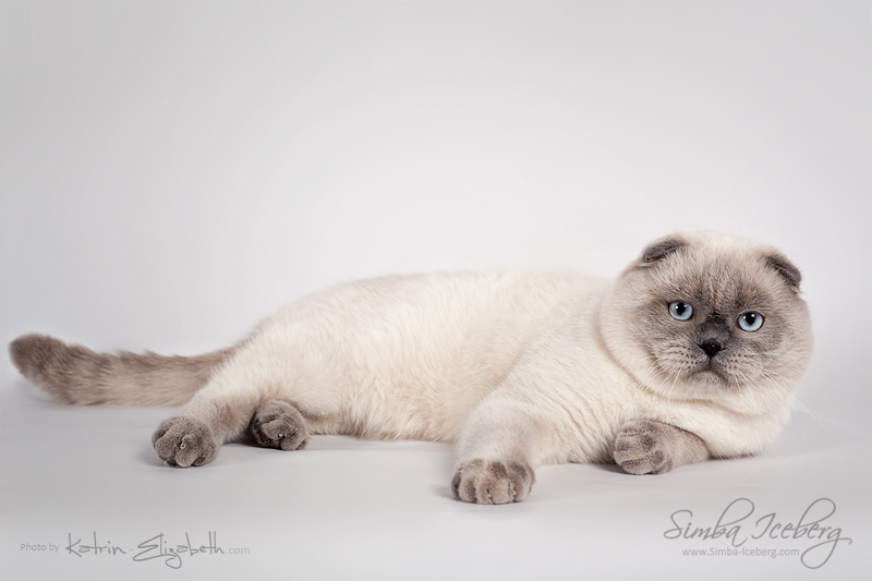 Scottish Fold blue point cat SimbaIceberg Grant (11 months 1 week old - 15.03.2017) (3)