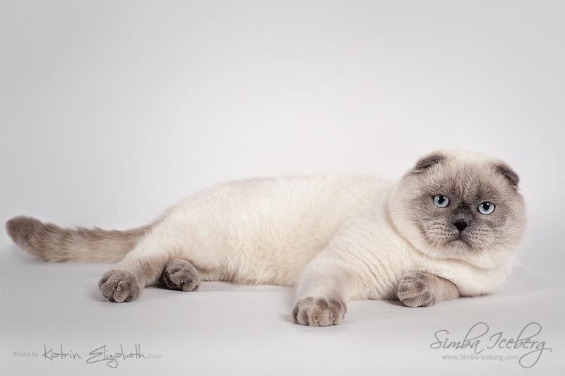 Scottish Fold blue point cat SimbaIceberg Grant (11 months 1 week old - 15.03.2017) (3)