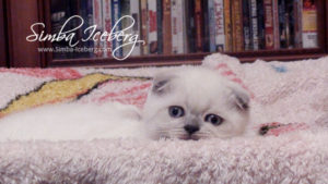 Scottish Fold blue point kitten Ariadna of Simba Iceberg (1 month 3 weeks old - 31.10.2011)