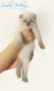 Scottish Fold blue point kitten Ariadna of Simba Iceberg (1 month 4 weeks old - 03.11.2011)