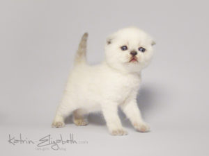 Scottish Fold blue point kitten Ariadna of Simba Iceberg (3 weeks old - 30.09.2011)