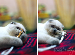 Scottish Fold blue point kitten Ariadna of Simba Iceberg (4 months 3 weeks old - 01.02.2012)