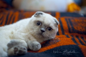 Scottish Fold blue point kitten Ariadna of Simba Iceberg (5 months 1 week old - 14.02.2012)