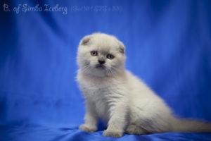 Scottish Fold blue point kitten Biskvitik of Simba Iceberg (1 month 2 weeks old - 10.03.2012) (1)