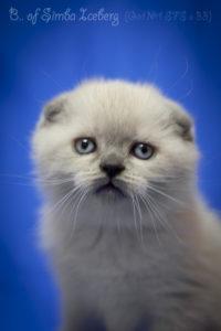Scottish Fold blue point kitten Biskvitik of Simba Iceberg (1 month 2 weeks old - 10.03.2012) (2)