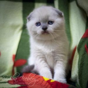 Scottish Fold blue point kitten Biskvitik of Simba Iceberg (1 month old - 02.03.2012) (2)
