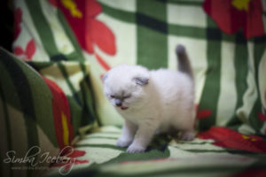 Scottish Fold blue point kitten Biskvitik of Simba Iceberg (1 month old - 02.03.2012) (3)