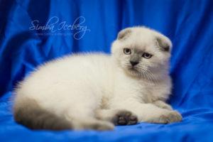 Scottish Fold blue point kitten Biskvitik of Simba Iceberg (2 months 4 weeks old - 21.04.2012) (1)