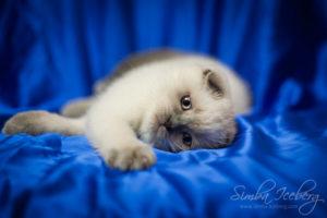 Scottish Fold blue point kitten Biskvitik of Simba Iceberg (2 months 4 weeks old - 21.04.2012) (3)