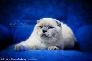 Scottish Fold blue point kitten Biskvitik of Simba Iceberg (6 months 1 week old - 05.08.2012)