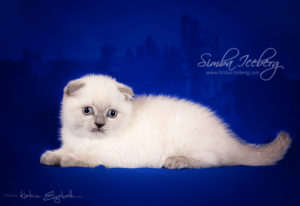 Scottish Fold blue point kitten Camelot of Simba Iceberg (1 month 2 weeks old - 22.02.2013) (1)