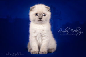 Scottish Fold blue point kitten Camelot of Simba Iceberg (1 month 2 weeks old - 22.02.2013) (2)
