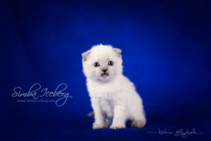 Scottish Fold blue point kitten Camelot of Simba Iceberg (1 month old - 08.02.2013) (1)