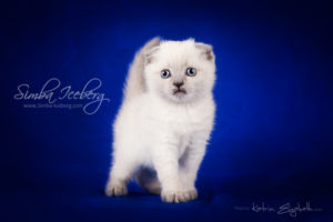 Scottish Fold blue point kitten Camelot of Simba Iceberg (1 month old - 08.02.2013) (2)