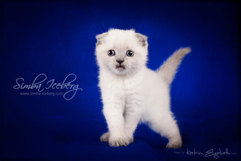 Scottish Fold blue point kitten Camelot of Simba Iceberg (1 month old - 08.02.2013) (3)