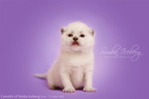 Scottish Fold blue point kitten Camelot of Simba Iceberg (15 days old - 21.01.2013)