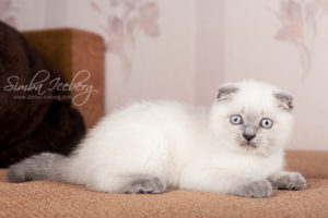Scottish Fold blue point kitten Camelot of Simba Iceberg (2 months 1 week old - 16.03.2013) (1)