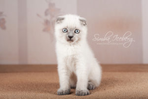 Scottish Fold blue point kitten Camelot of Simba Iceberg (2 months 1 week old - 16.03.2013) (2)