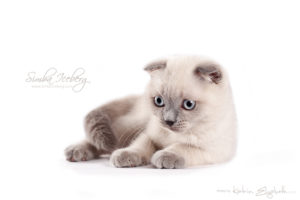Scottish Fold blue point kitten Camelot of Simba Iceberg (2 months 3 weeks old - 30.03.2013)